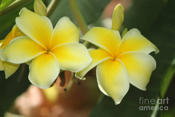 Wall Art - Photograph - Yellow Plumeria Flower by Eric Irion