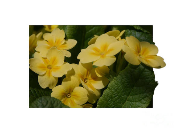 Photograph - Yellow Primrose Flowers by Smilin Eyes  Treasures