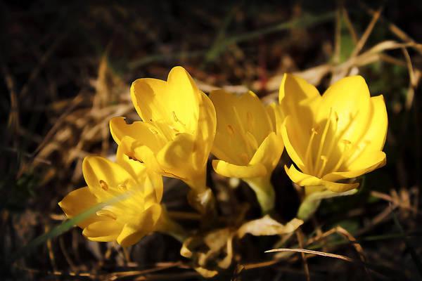 Photograph - Yellow Quartet by Milena Ilieva