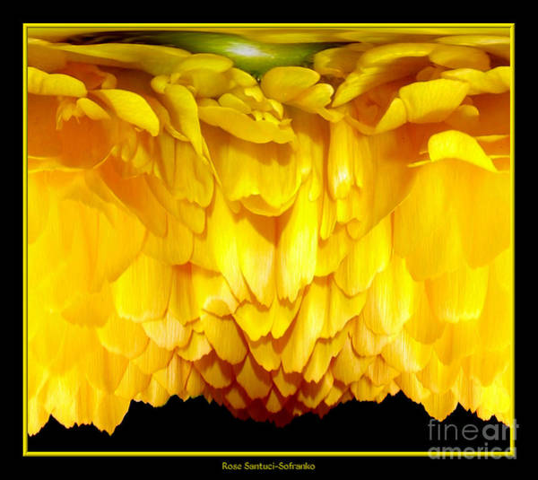 Photograph - Yellow Ranunculus Abstract by Rose Santuci-Sofranko