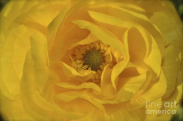 Photograph - Yellow Ranunculus by Bridgette Gomes