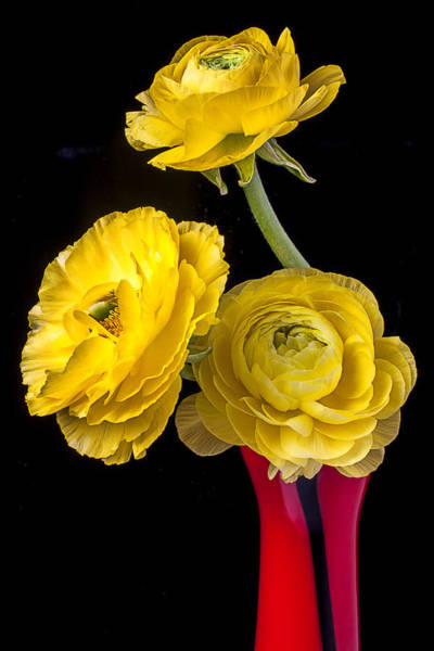 Ranunculus Photograph - Yellow Ranunculus In Red Vase by Garry Gay