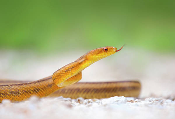 Photograph - Yellow Rat Snake by Kristian Bell