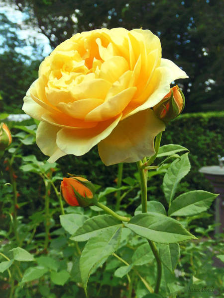 Photograph - Yellow Rose And Buds by Susan Savad