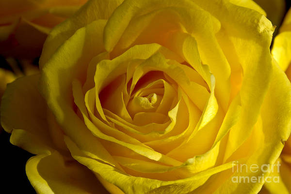 Photograph - Yellow Rose by Anthony Sacco