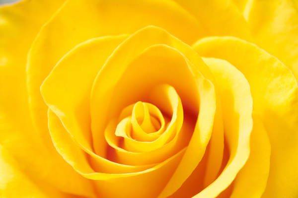Photograph - Yellow Rose by Barry Weiss