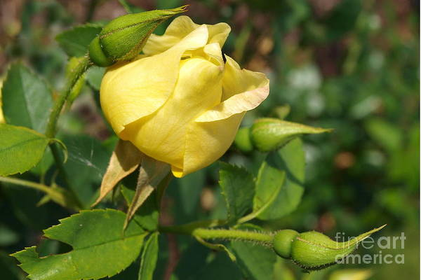 Photograph - Yellow Rose Bud by Vivian Martin