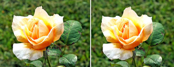 Photograph - Yellow Rose In 3d Stereo by Duane McCullough