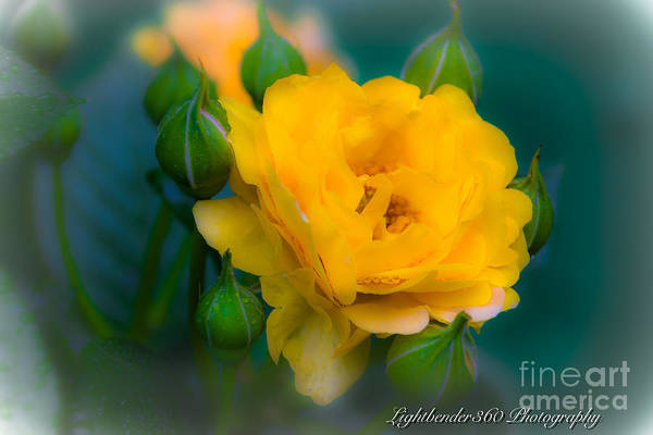 Photograph - Yellow Rose by Larry McMahon