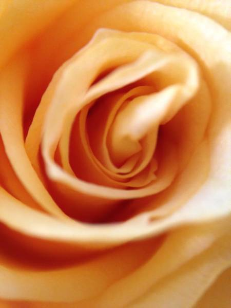 Photograph - Yellow Rose by Marian Palucci-Lonzetta