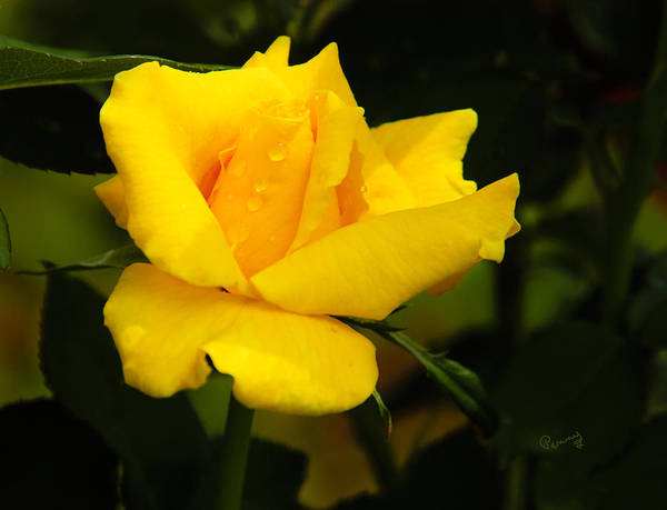 Photograph - Yellow Rose by Penny Lisowski