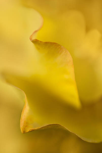 Photograph - Yellow Rose Petal Abstract by Mary Jo Allen