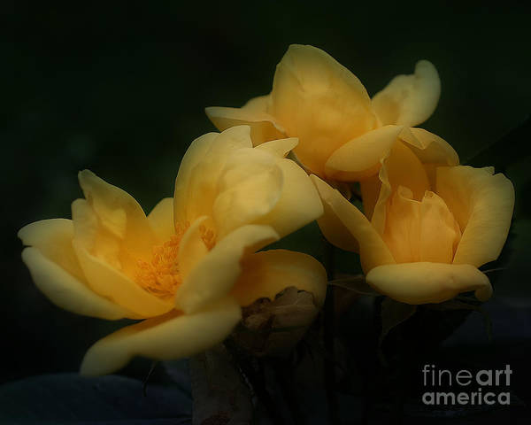 Photograph - Yellow Rose Trio by Smilin Eyes  Treasures