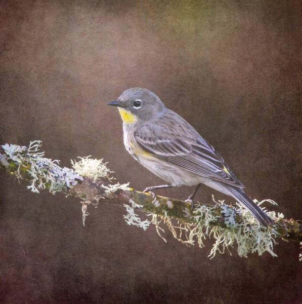 Yellow-rumped Warbler Photograph - Yellow-rumped Warbler by Angie Vogel