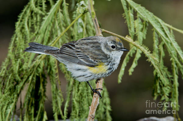 Yellow-rumped Warbler Photograph - Yellow-rumped Warbler by Anthony Mercieca