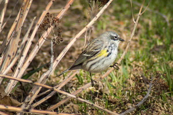 Yellow-rumped Warbler Photograph - Yellow Rumped Warbler by Bill Pevlor