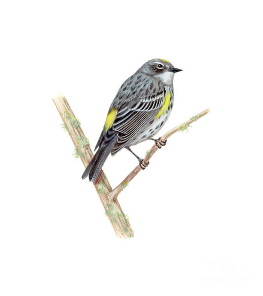 Yellow-rumped Warbler Photograph - Yellow-rumped Warbler by Carlyn Iverson