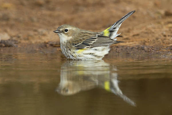 Yellow-rumped Warbler Photograph - Yellow-rumped Warbler (dendroica by Larry Ditto