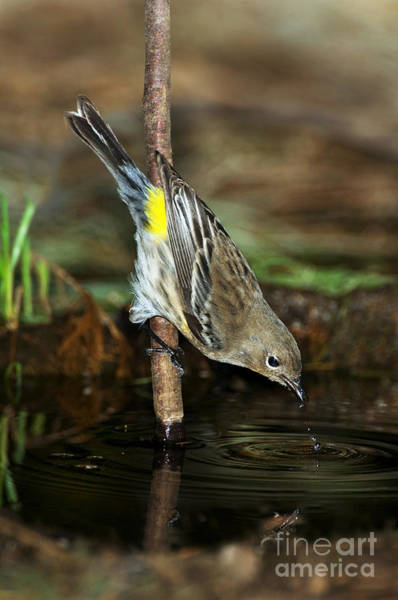 Yellow-rumped Warbler Photograph - Yellow-rumped Warbler Drinking by Anthony Mercieca