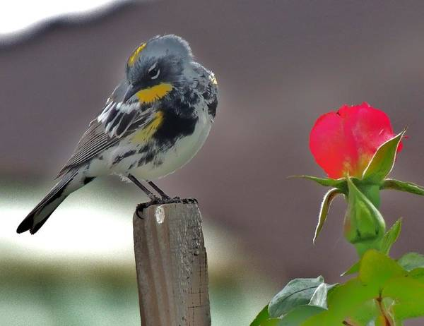 Photograph - Yellow Rumped Warbler by Helen Carson