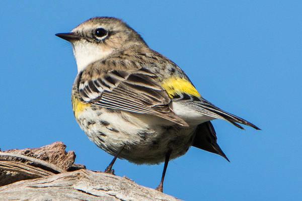 Yellow-rumped Warbler Photograph - Yellow-rumped Warbler by Jurgen Lorenzen