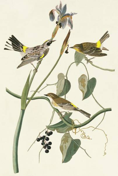 Yellow-rumped Warbler Photograph - Yellow-rumped Warbler by Natural History Museum, London/science Photo Library