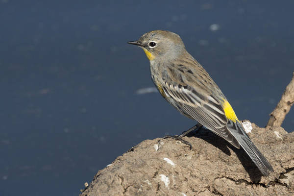 Yellow-rumped Warbler Photograph - Yellow-rumped Warbler On The Shore by Kathleen Bishop