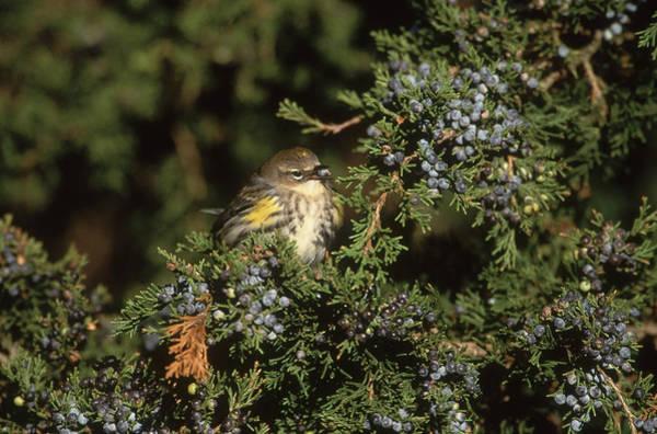 Yellow-rumped Warbler Photograph - Yellow-rumped Warbler by Paul J. Fusco