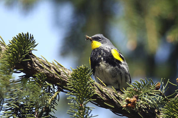 Yellow-rumped Warbler Photograph - Yellow-rumped Warbler With Grubs by Sharon Talson
