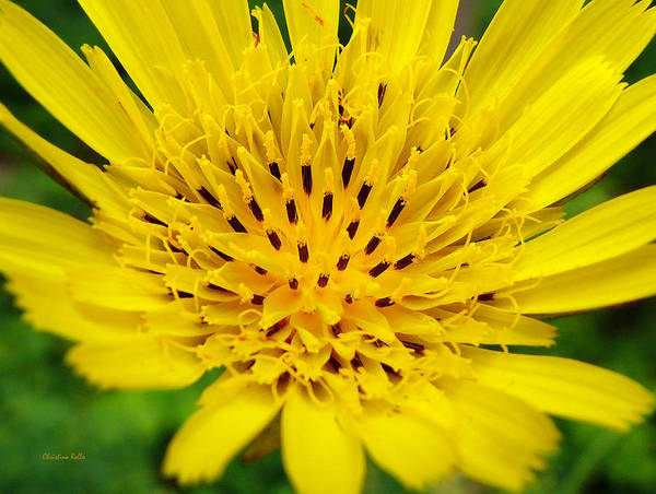 Photograph - Yellow Salsify Flower by Christina Rollo