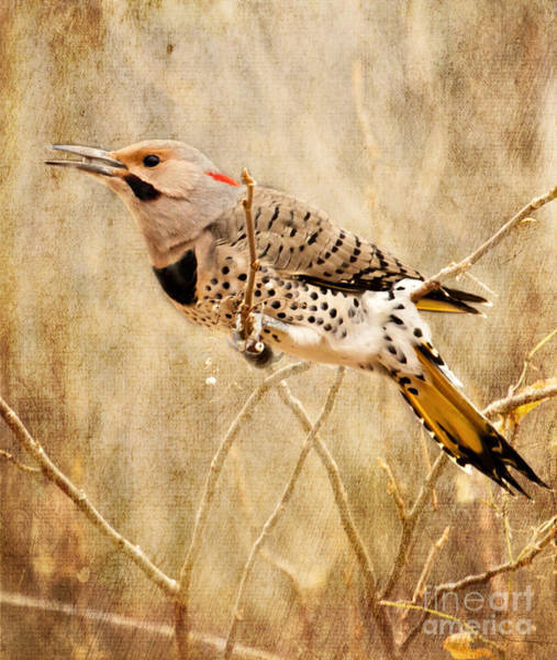 Photograph - Yellow Shafted Northern Flicker by Pam  Holdsworth