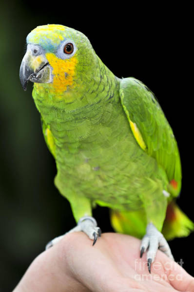 Photograph - Yellow-shouldered Amazon Parrot by Elena Elisseeva