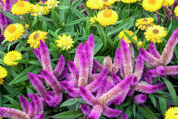 Asteraceae Photograph - Yellow Strawflowers And Purple Celosia by Lisa S. Engelbrecht