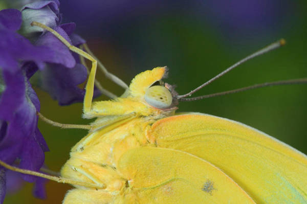 Sulfur Butterfly Wall Art - Photograph - Yellow Sulfur Butterfly by Darrell Gulin