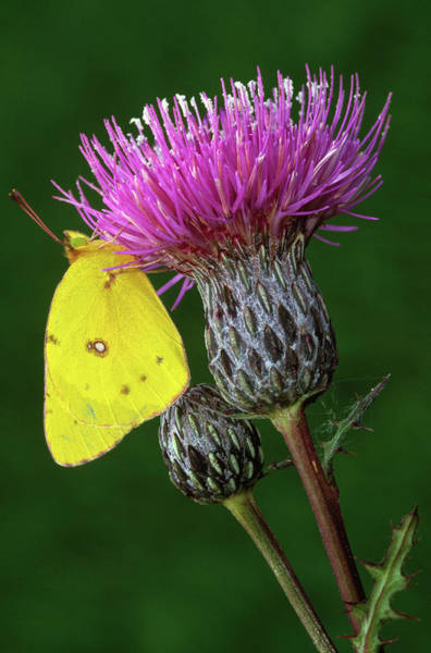 Sulfur Butterfly Wall Art - Photograph - Yellow Sulfur Butterfly On Thistle by Animal Images