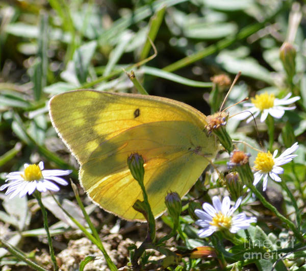 Sulfur Butterfly Wall Art - Photograph - Yellow Sulfur Butterfly by Ruth  Housley