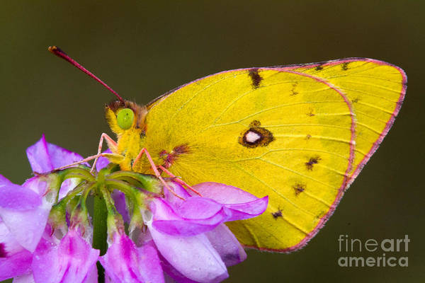 Sulfur Butterfly Wall Art - Photograph - Yellow Sulfur Butterfly by Todd Bielby