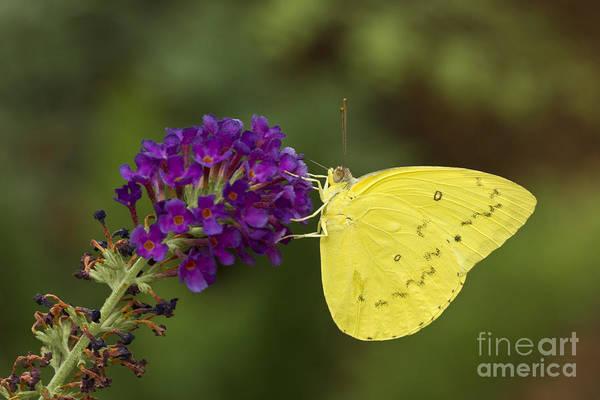 Sulfur Butterfly Wall Art - Photograph - Yellow Sulfur On Butterfly Bush by Bryan Keil