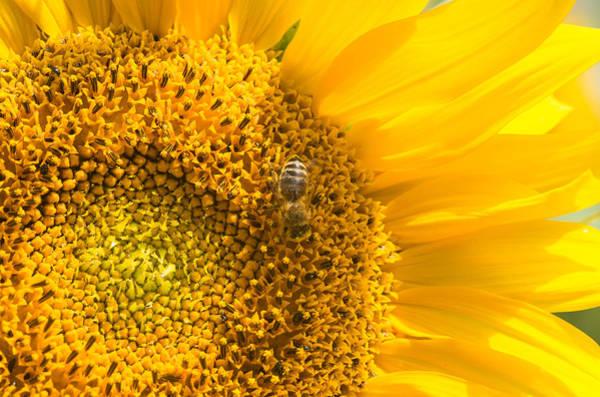 Photograph - Yellow Sunflower - Detail by Matthias Hauser