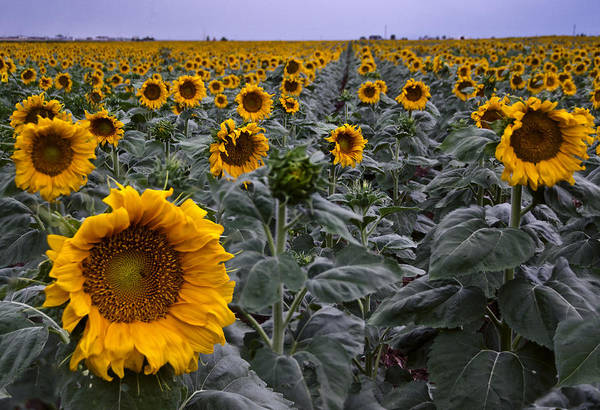 Photograph - Yellow Sunflower Field by Dave Dilli