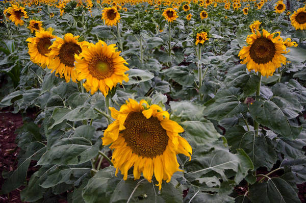 Photograph - Yellow Sunflower Fields by Dave Dilli
