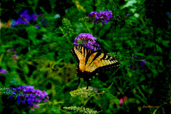 Photograph - Yellow Swallowtail - Featured In Wildlife Group by Ericamaxine Price