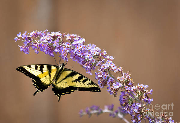 Wall Art - Photograph - Yellow Swallowtail by Roger Bailey