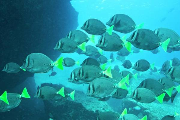 Sea Of Cortez Photograph - Yellow Tailed Surgeonfish by Christopher Swann