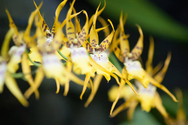 Photograph - Yellow Tropical Flower by Alex Grichenko