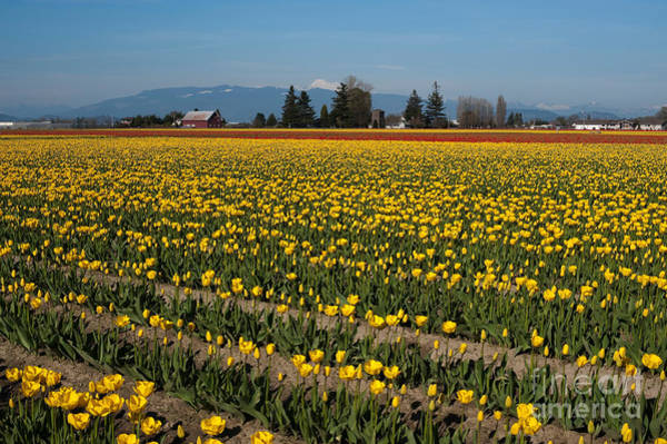 Vernon County Photograph - Yellow Tulip Fields by Jim Corwin