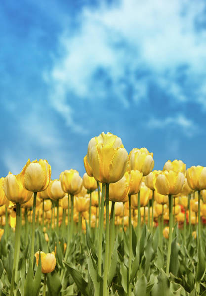 Dutch Tulip Photograph - Yellow Tulips Against Blue Sky by Nicolasmccomber