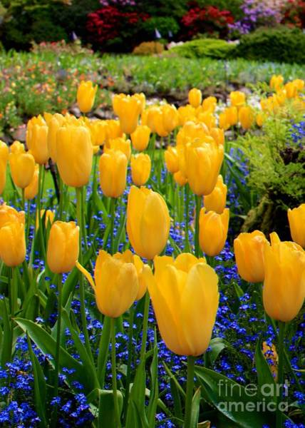 Photograph - Yellow Tulips by Carol Groenen