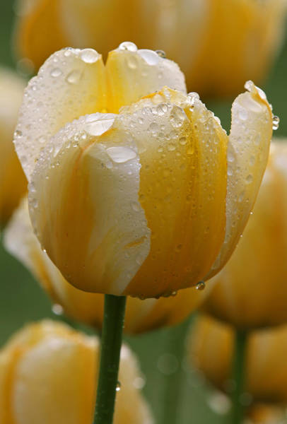 Photograph - Yellow Tulips by Juergen Roth