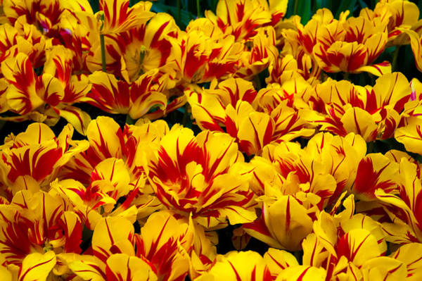 Queens Birthday Photograph - Yellow Tulips Of Holland by Jenny Rainbow